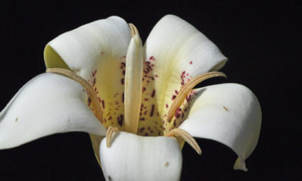 Rothmannia capensis