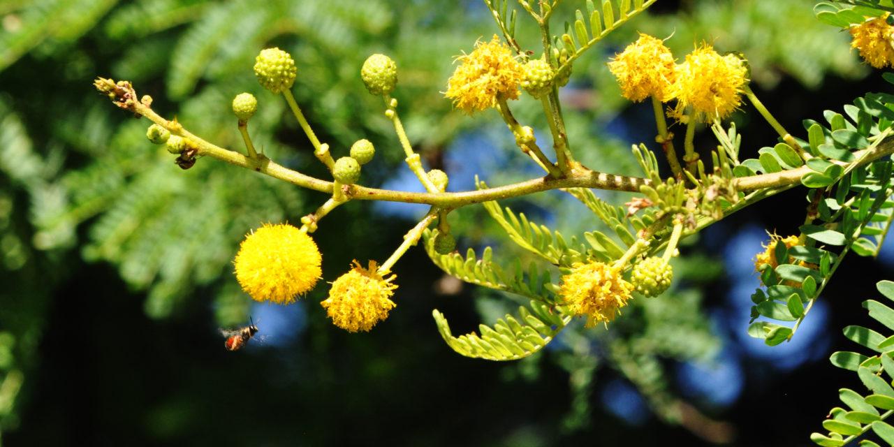 Acacia Karroo Vachellia Karroo Tree Sa