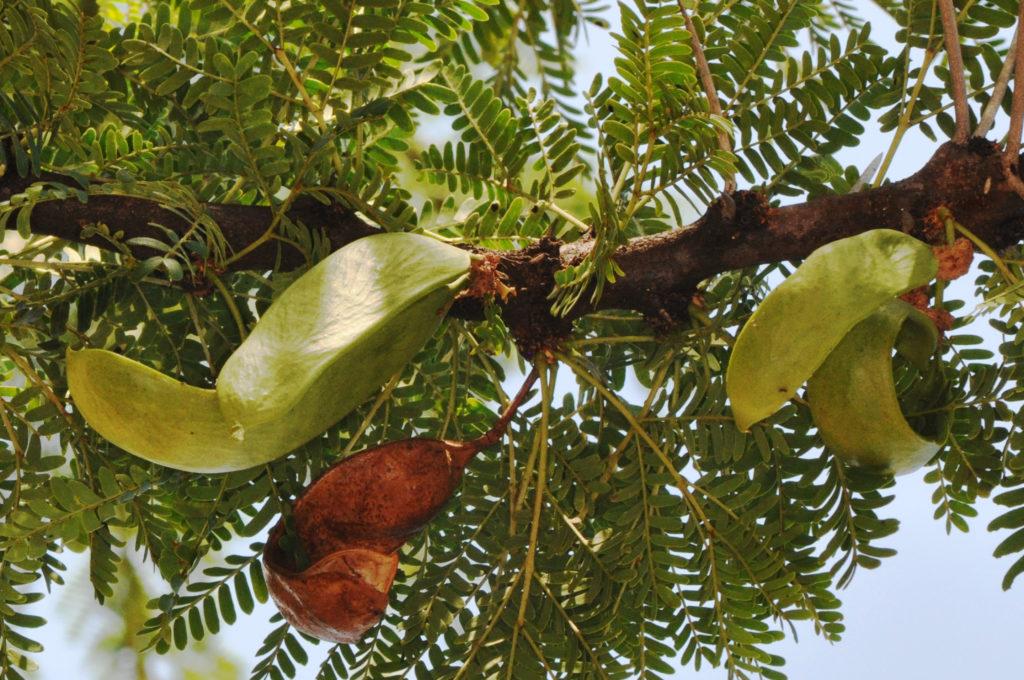 Acacia Robusta Vachellia Robusta Tree Sa